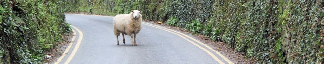 sheep on the road out of Polkerris, Ruth walking round the coast