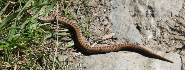 adder on South West Coast Path above Polperro, photograph by Ruth Livingstone