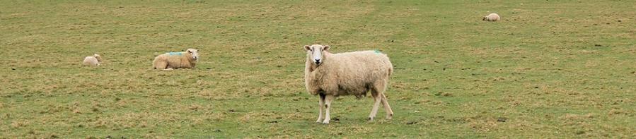 more sheep, Ruth's coastal walk along South West Coast Path