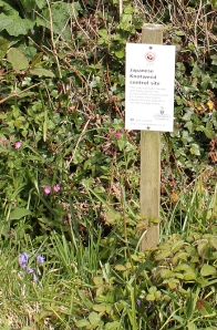 Japanese Knotweed control sign, Ruth walking the coast