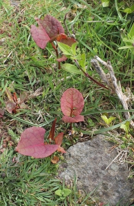 Japanese Knotweed on Ruth's coastal walk
