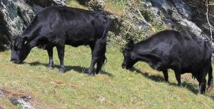 Bulls on Pencarrow Head, Ruth on the South West Coast Path, Cornwall