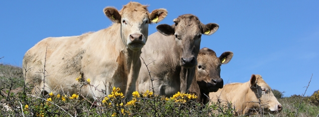 cows, near Hemmick Beach, Ruth walking in Cornwall