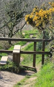 Ruth's coastal walk, Cornwall, walking through gorse