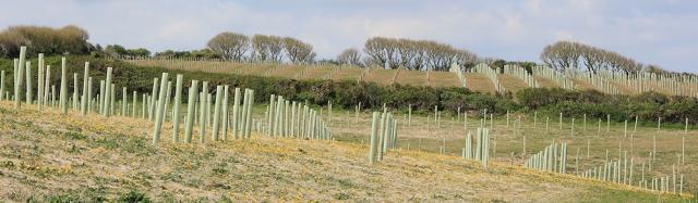 tree planting, Roseland Peninsula, Ruth walking the SW Coast Path