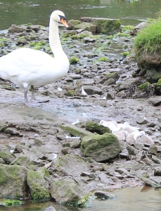 15 swan and cygnets, Ruth's coastal walk