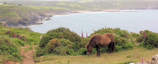 wild ponies on Enys Head, South West Coast Path, Ruth's walk