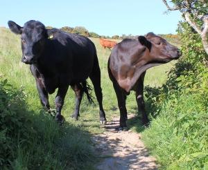 22 Bullocks on Rosemullion Head - Ruth walking the South West Coast Path