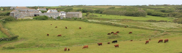 Predannack and fields of cattle, Ruth on her coastal walk
