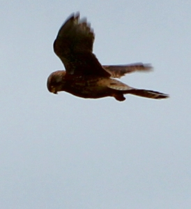 Kestrel, on SWCP, above Ruth