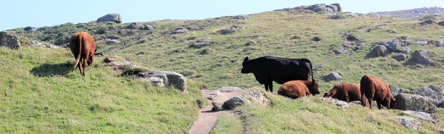 bulls on South West Coast Path, Ruth's coastal walking