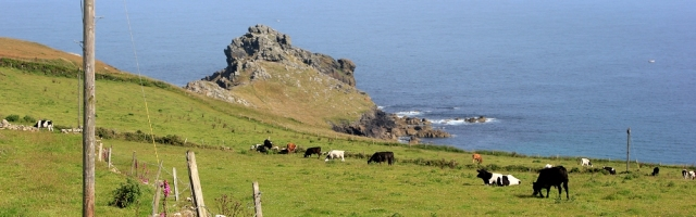 Gurnard's Head and cows