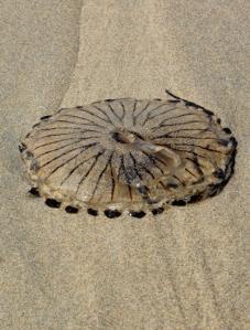 05b Jelly fish, Ruth on her coastal walk, Perran Beach