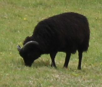 sheep with black wool, Willapark, Ruth