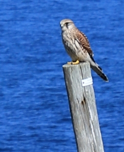 Kestrel again, Ruth Livingstone