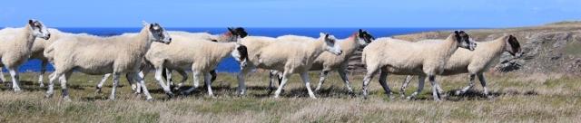 sheep, Ruth hiking along the South West Coast Path, North Cornwall