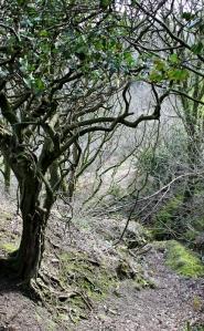 a bit of woodland, East Titchberry, Ruth walking the SW Coast Path, Devon