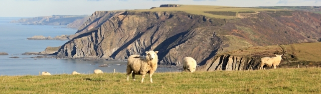 07 sheep, nr Cornakey, SWCP, Ruth's coastal walk