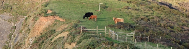 23 cattle on footpath, Swansford Hill, Ruth's coastal walk