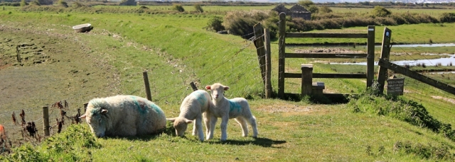 lambs on the path, Ruth walking around Horsey Island, Braunton, Devon