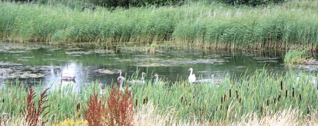 Swans, Ruth's coastal walk, Parrett River