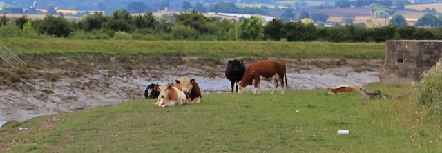 definitely a bull, footpath River Parrett, Ruth Livingstone
