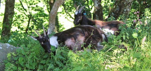 goats in Valley of Rocks, North Devon, Lynton, Ruth's coast walking