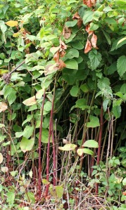 a07 Japanese Knotweed, on South West Coast Path, Ruth above Rillage Point, Devon