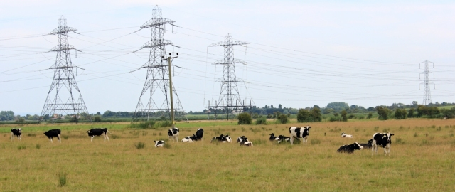 cows in field, Hinkley Point, Ruth walking around the coast, Somerset