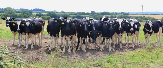 hundreds of cows, Ruth walking in Somerset, Hinkley Point