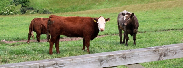 cattle on the other side of the fence, Ruth Livingstone