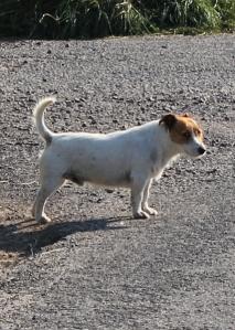 ferocious terrier, Ruth walking the coast