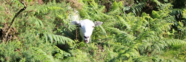 sheep in bracken, Ruth on Holdstone Down, SWCP