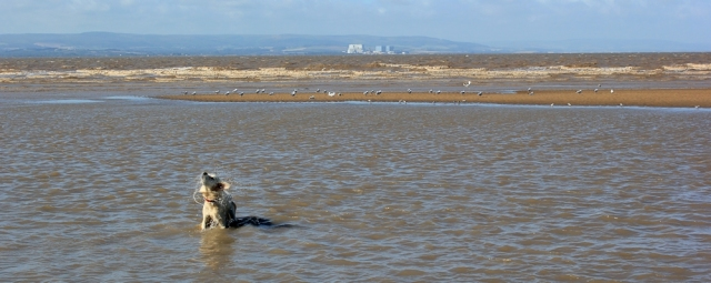 dogs, seabirds, and Hinkley Point, Ruth walking the coast in North Somerset