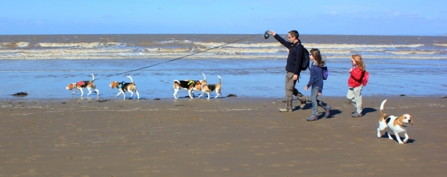 Beagle walkers, Ruth walking the coast, Brean, Somerset