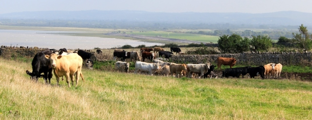 cows at the end of Middle Hope, Ruth walking the Somerset coast