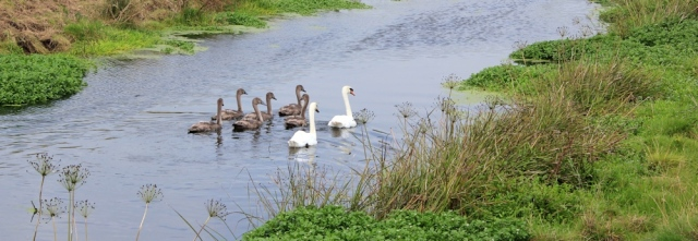 Swans and river bank, Ruth in Somerset, bank of River Yeo