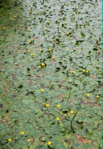 water lillies on rhyne, Ruth walking in Kewstoke, Somerset