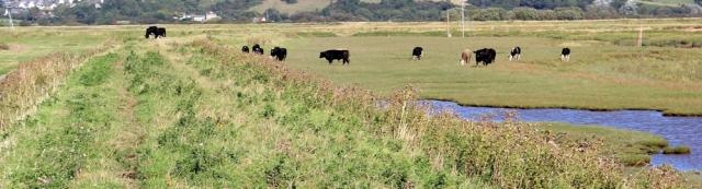 cows on river bank, River Axe