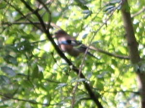 blurred photo of a possible Hawfinch, Ruth walking the Wales Coast Path, Chepstow