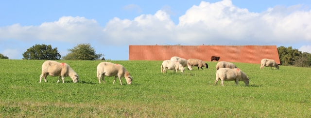 b02 Welsh sheep, Ruth walking the Wales Coast Path