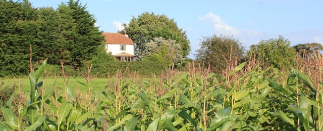 b04 through field of giant sweet corn, Ruth walking the Wales Coast Path, Caldicot Level