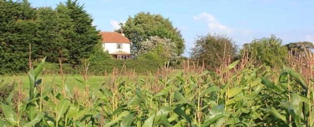 b04 through field of giant sweet corn, Ruth walking the Wales Coast Path, Caldicot Level