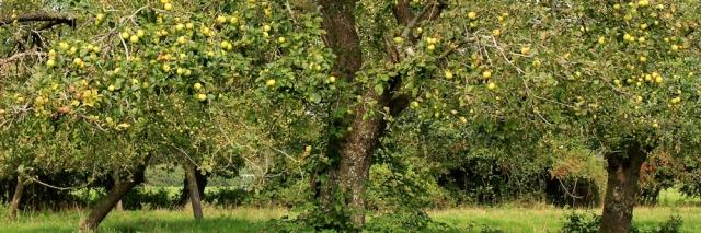 b10 walk through an orchard, Ruth in Somerset