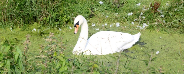 b16 hissing swan, Kingston Seymour, Somerset walk