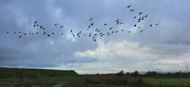 flying geese overhead, Ruth walking the coast, near Newport, Wales