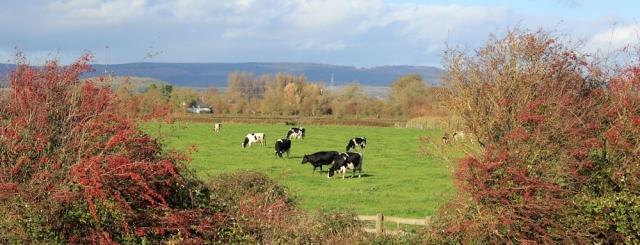 cows on Caldicot level, Ruth walking the Wales Coast Path
