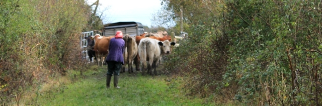 Ruth sharing the path with cows. Wales Coast Path