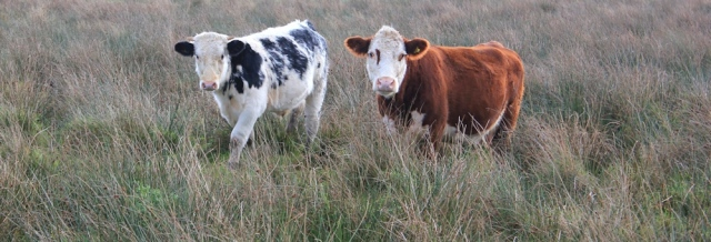 cows in Wales, Ruth walking the coastal path, near Nash