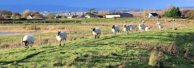 sheep walking on bank, Ruth walking Wales Coast Path into Goldcliff